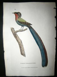 Shaw C1800's Antique Hand Col Bird Print. Gorget Paradise Bird